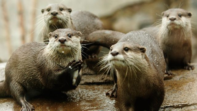 A group of Asian small-clawed otters
